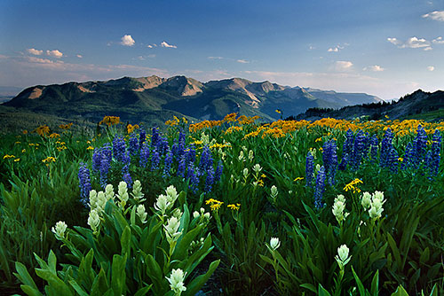 mountain-wildflowers